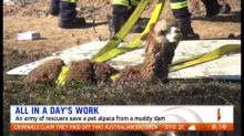 Fire and rescue team save pet alpaca from muddy dam