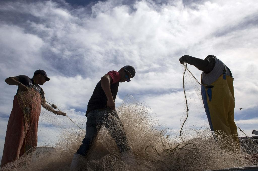 Mexico's vaquita marina -- the world's smalest porpose -- has been virtually wiped out by totoaba fishing, because it gets stuck in the same kind of net (AFP Photo/GUILLERMO ARIAS)