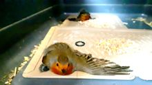 Two robins die after getting stuck on glue trap designed to catch mice