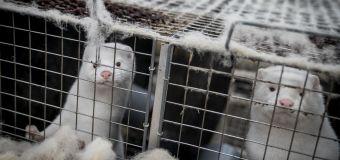 Denmark's COVID-19 outbreak creates 'zombie mink'