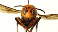 Murder Hornets Are In Canada Because 2020 Just Keeps On Going