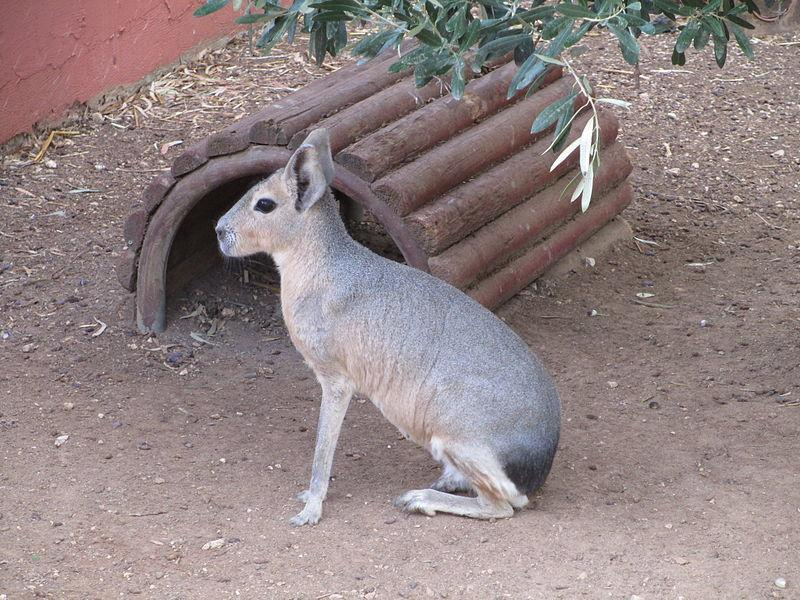 <strong>What is it? </strong>A relatively large rodent, closely related to guinea pigs. Sometimes described as being rabbit-like.<br /> <strong>Size:</strong> Around 17 inches tall.<br /> <strong>Lives:</strong> The Patagonian mara is only found in Argentina, and is considered to be a near threatened species, being greatly affected by hunting and habitat alteration.<br /> <strong>Eats: </strong>Grasses and herbs.<br /> <strong>Fun fact:</strong> Being monogamous, pairs of maras stay together for life with replacement of partners only occurring after its death.The male has almost the sole responsibility in maintaining the pair by following the female wherever she goes. Aww.