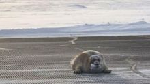Huge Bearded Seal Blocks Airport Runway In Alaska