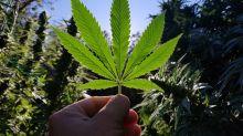Aurora Cannabis Marijuana Peak Production Leaps Higher
