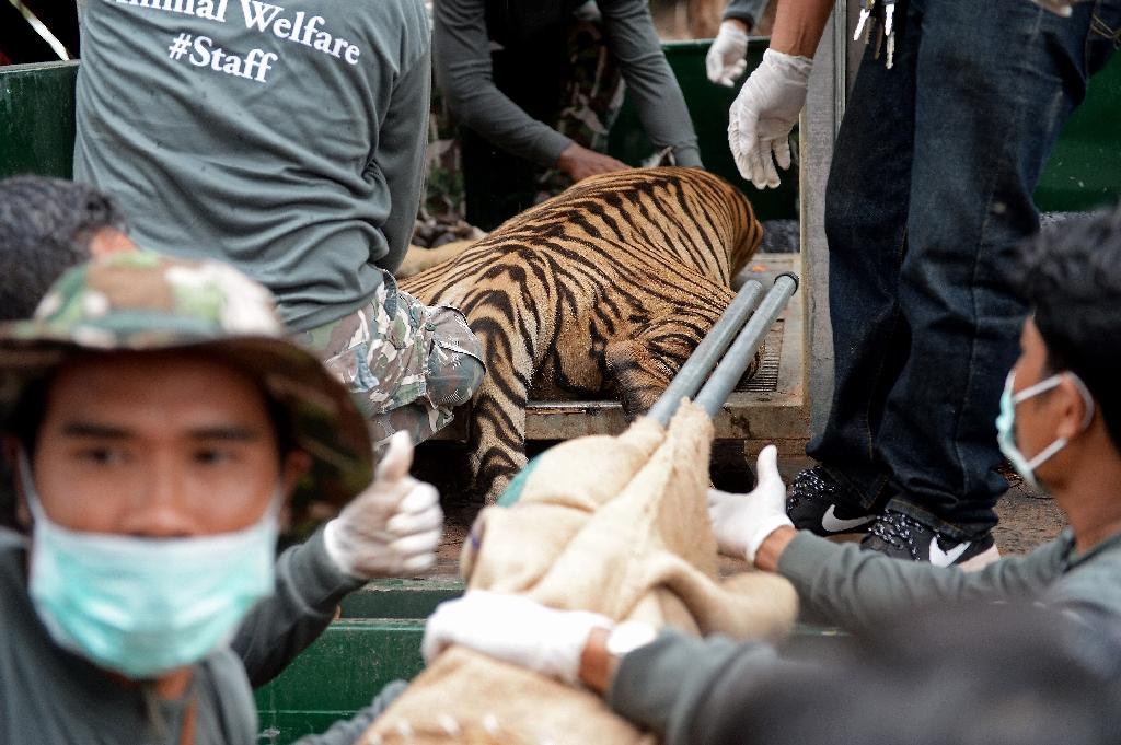 Wildlife officials load an anaesthetised tiger onto a truck after they removed it from an enclosure at the Wat Pha Luang Ta Bua Tiger Temple in Kanchanaburi province, western Thailand on May 30, 2016 (AFP Photo/Christophe Archambault)
