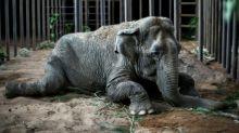 Rescued circus elephant Ramba arrives at Brazil sanctuary