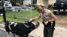 Polizeieinsatz: Hilfe, ein Riesenschwein ist ausgebrochen!
