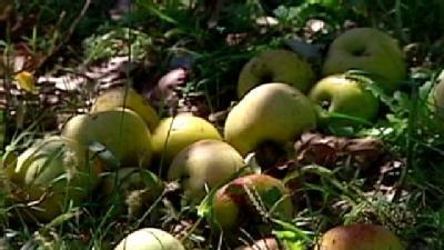 Severe Storms Hurt Apple Picking