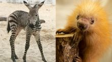 Meet a porcupette: Disney's Animal Kingdom welcomes adorable newborns amid park closures