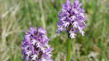 Dreizähniges Knabenkraut ist die Orchidee des Jahres 2019