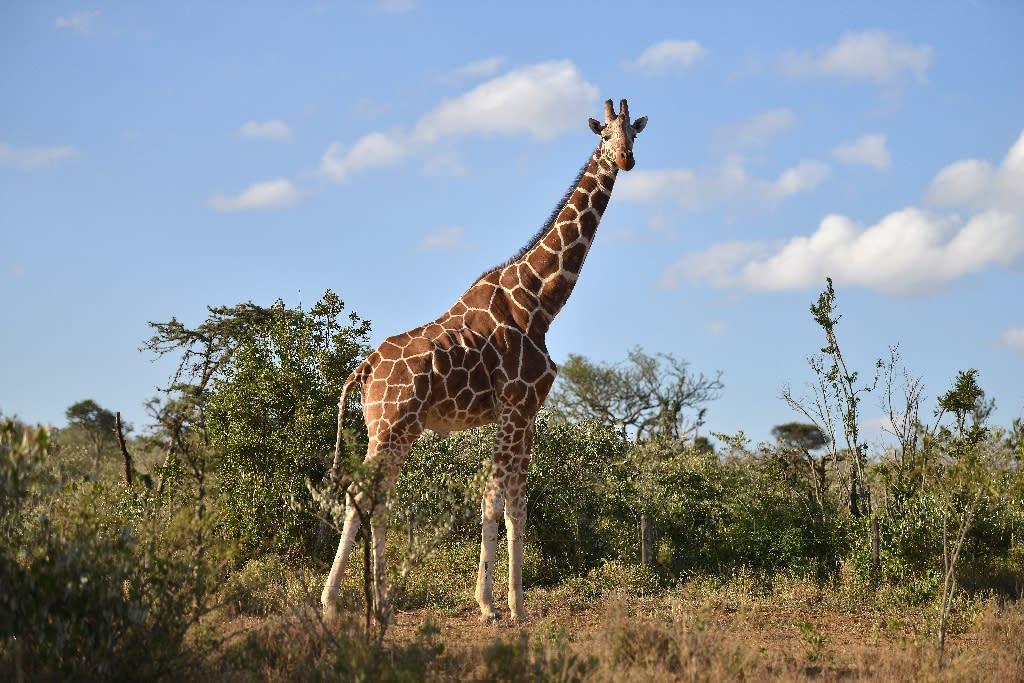 Image result for Lightning strike has killed 2 giraffes instantaneously at Florida's wildlife park!