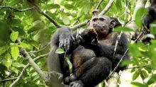 Chimpancés salvajes comen tortugas
