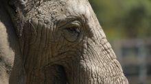 Al menos 200 elefantes mueren de hambre en el mayor parque de Zimbabue