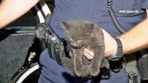 Kitten rescued from car engine in Arcadia