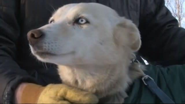 Iditarod Race 2013: Missing Sled Dog Found