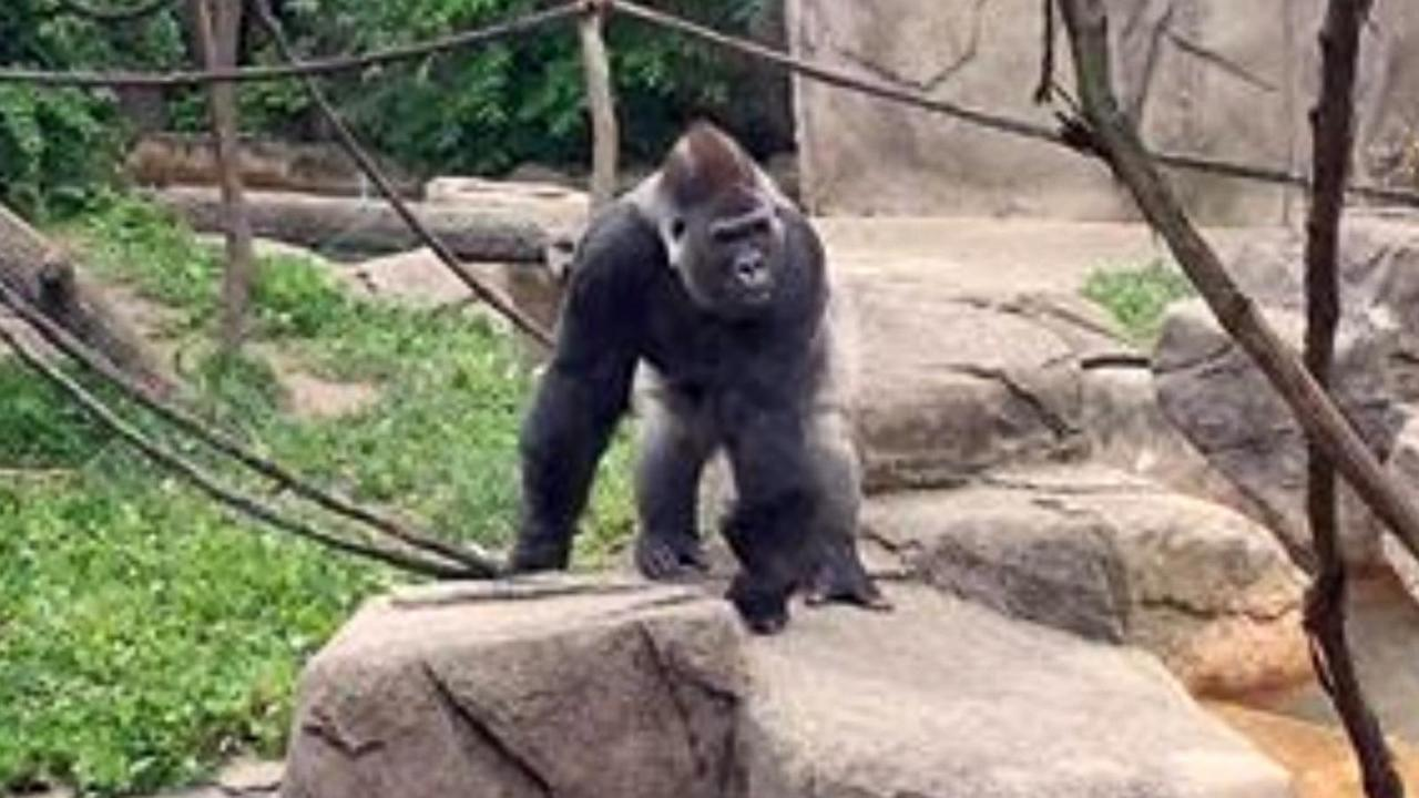 Gorilla World To Reopen At Cincinnati Zoo With 39 Modified