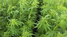Marijuana Penny Stocks: Where Risk Meets Sin