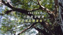 聆聽樹木無聲:可能是全香港最古老的細葉榕⋯⋯