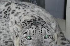 Snow Leopard might not be the best code name