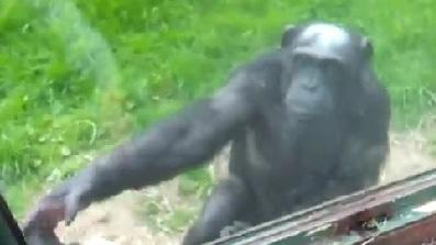 Chimp Gives Escape Instructions