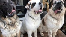 New vacuum needed: Calgary family adopts three bonded St. Bernard buddies