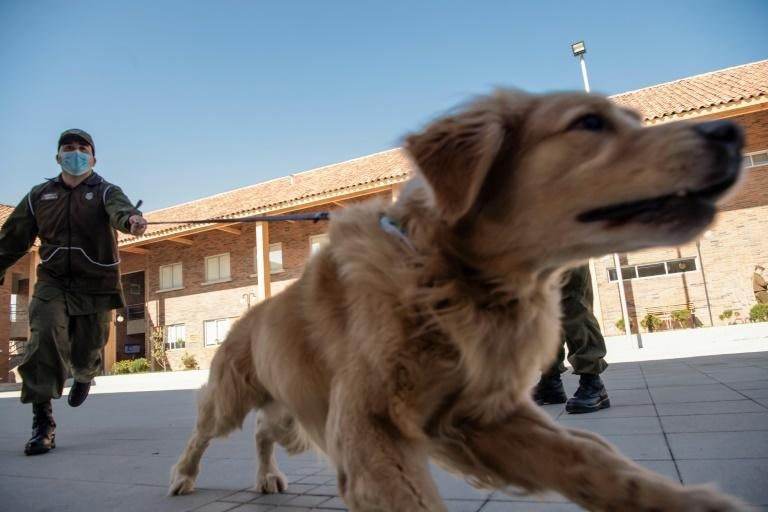 Members of the Chilean Police Canine Training team play with a Golden Retriever dog, before the beginning of its training session aimed to detect people infected with coronavirus COVID-19 during a presentation to the press, in Santiago, Chile. (AFP Photo/Martin BERNETTI)