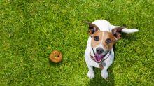 Science décalée : pourquoi les chiens aiment autant les excréments humains