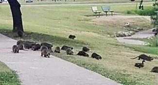年生200胎入侵公園 政府急下令