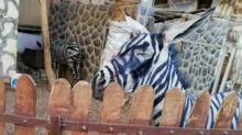 Zoológico é acusado de pintar burro como zebra