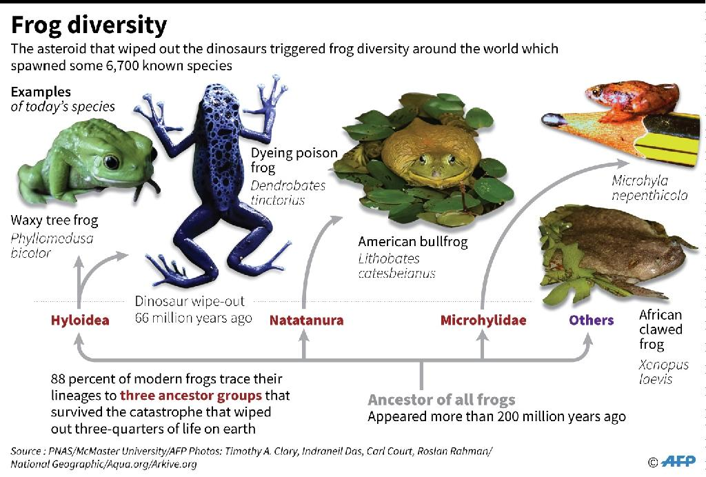 Graphic on the evolution of frogs. (AFP Photo/Laurence CHU)