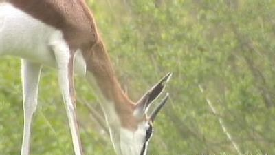 Five New Baby Springboks Introduced At Pittsburgh Zoo
