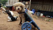 Paraguaya fabrica sillas de ruedas artesanales para mascotas