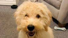 Family 'distraught' after labradoodle puppy stolen at knifepoint in Cornwall