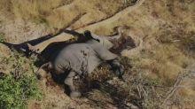 非洲大象成群死亡之謎