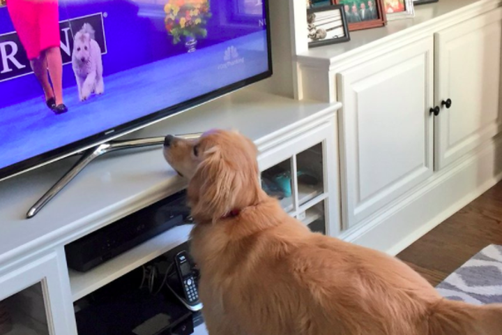 Where Can I View National Dog Show Thanksgivibng