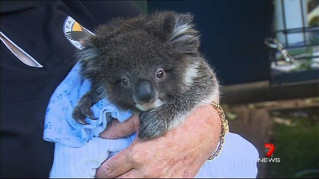 Koala rescuers feeling the pinch