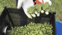 U.S. support for legal pot reaches record high of 60%: Poll