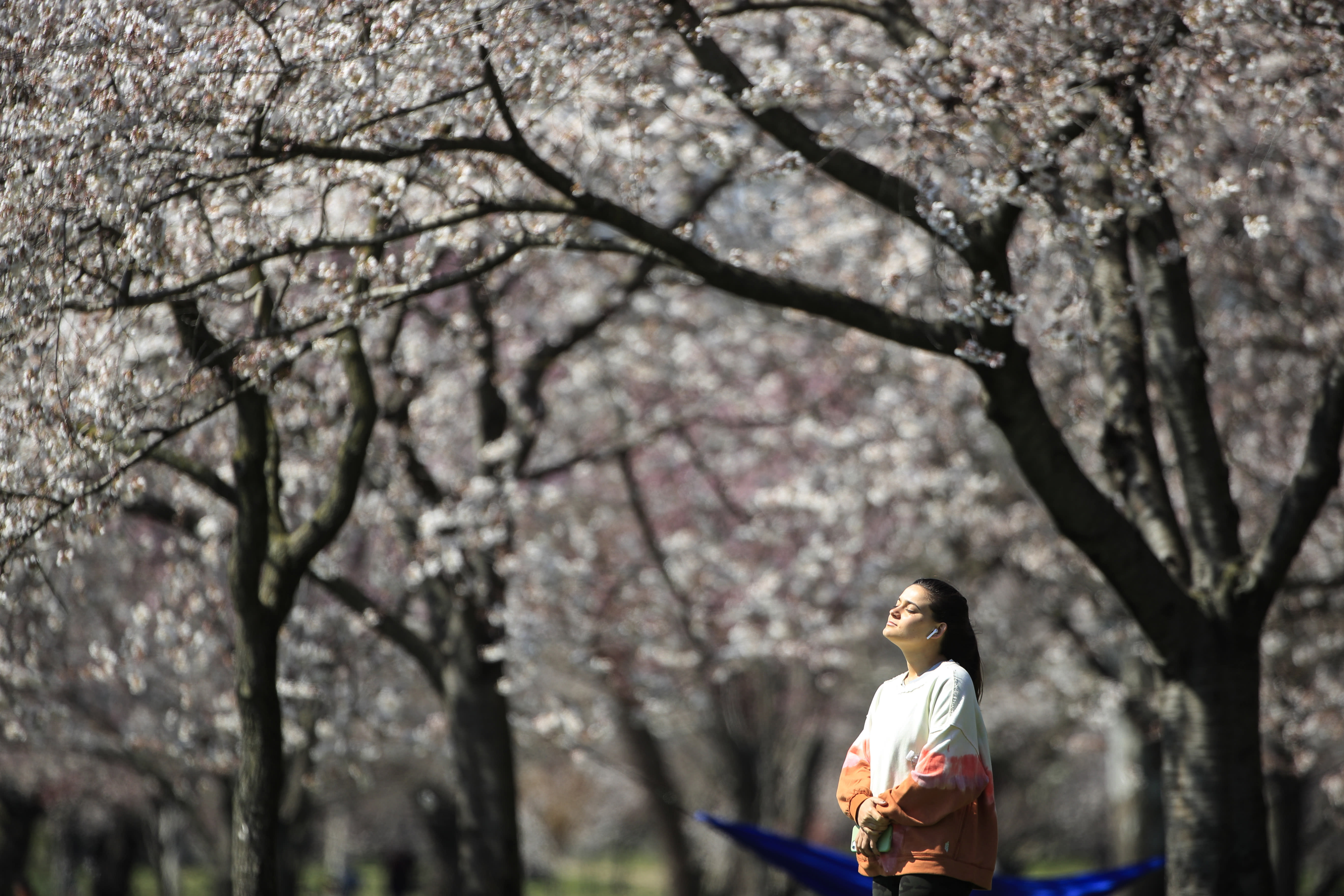 In this March 26, 2020, photo, a person takes in the afternoon sun amongst the cherry blossoms along Kelly Drive in Philadelphia. For millions of seasonal allergy sufferers, the annual onset of watery eyes and scratchy throats is bumping up against the global spread of a new virus that produces its own constellation of respiratory symptoms. That's causing angst for people who suffer from hay fever and are now asking themselves whether their symptoms are related to their allergies or the new coronavirus. (AP Photo/Matt Rourke)