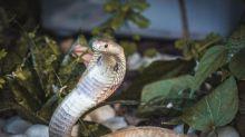 Graças ao ataque da Naja, Ibama resgata 32 serpentes e aplica mais de R$ 300 mil em multas no DF