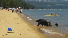 ¡Mamá osa y sus crías comparten playa con los turistas!