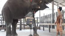 Meet Mosha, the elephant with a prosthetic leg