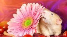 Fotógrafa passa anos registrando ratos para mudar imagem negativa do animal