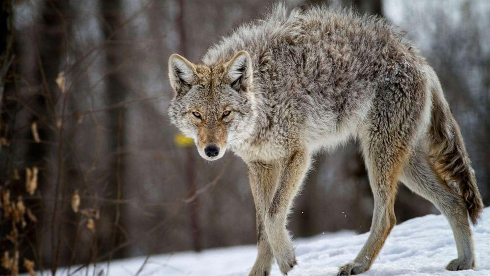 A coyote attacked a toddler. His father strangled it
