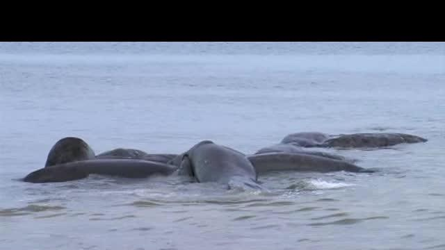 Mating manatees cause disturbance
