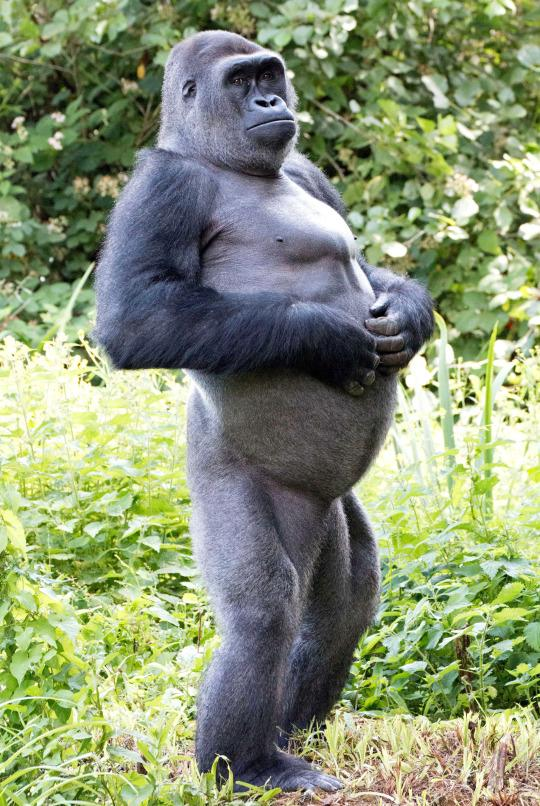 Gorilla standing up - photo#37