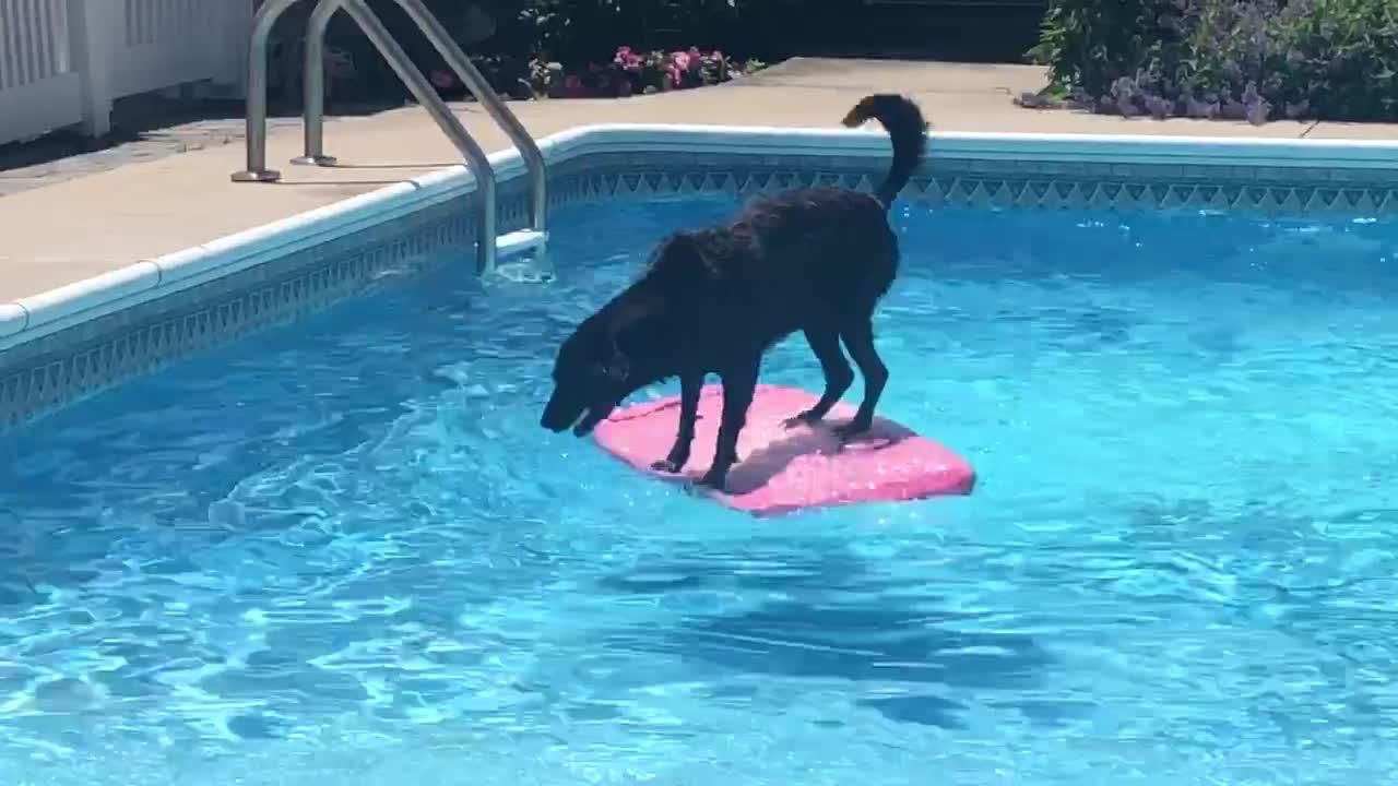 Athletic Labrador Uses Wakeboard To Fetch Ball From The Pool