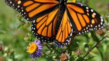 Monarques Partners with Mission Monarch