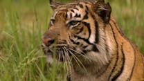 """Sky-rocketing"" tiger trade blamed on growing Asian wealth"