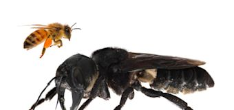World's largest bee spotted for first time in 38 years