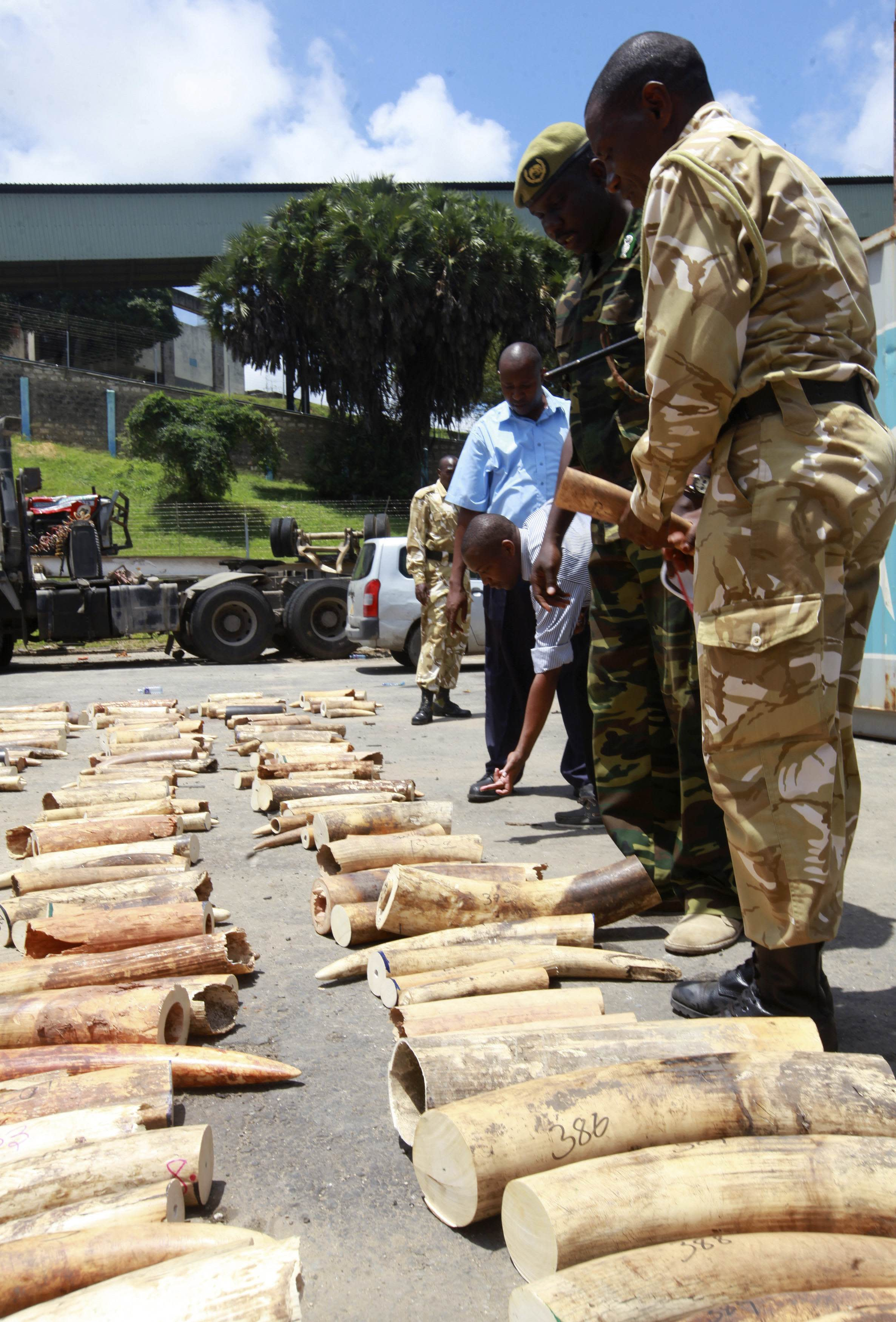 Kenya Wildlife Service (KWS) officers count elephant tusks which they impounded at a container terminal in Kenya's port city of Mombasa October 8, 2013. The container documents indicate that the tusks came Malaba Uganda and were destined for Turkey, Kenya Revenue Authority officials said. REUTERS/Joseph Okanga (KENYA - Tags: CRIME LAW ANIMALS)